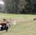 Disliptemia em cães da raça labrador – Universidade Aberta